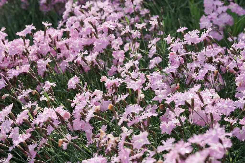 Bath's Pink Dianthus clump