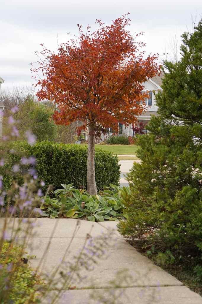 Little Twist Cherry Tree fall color