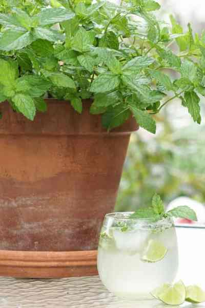 My Mojito Mishap – Know Thy Mint