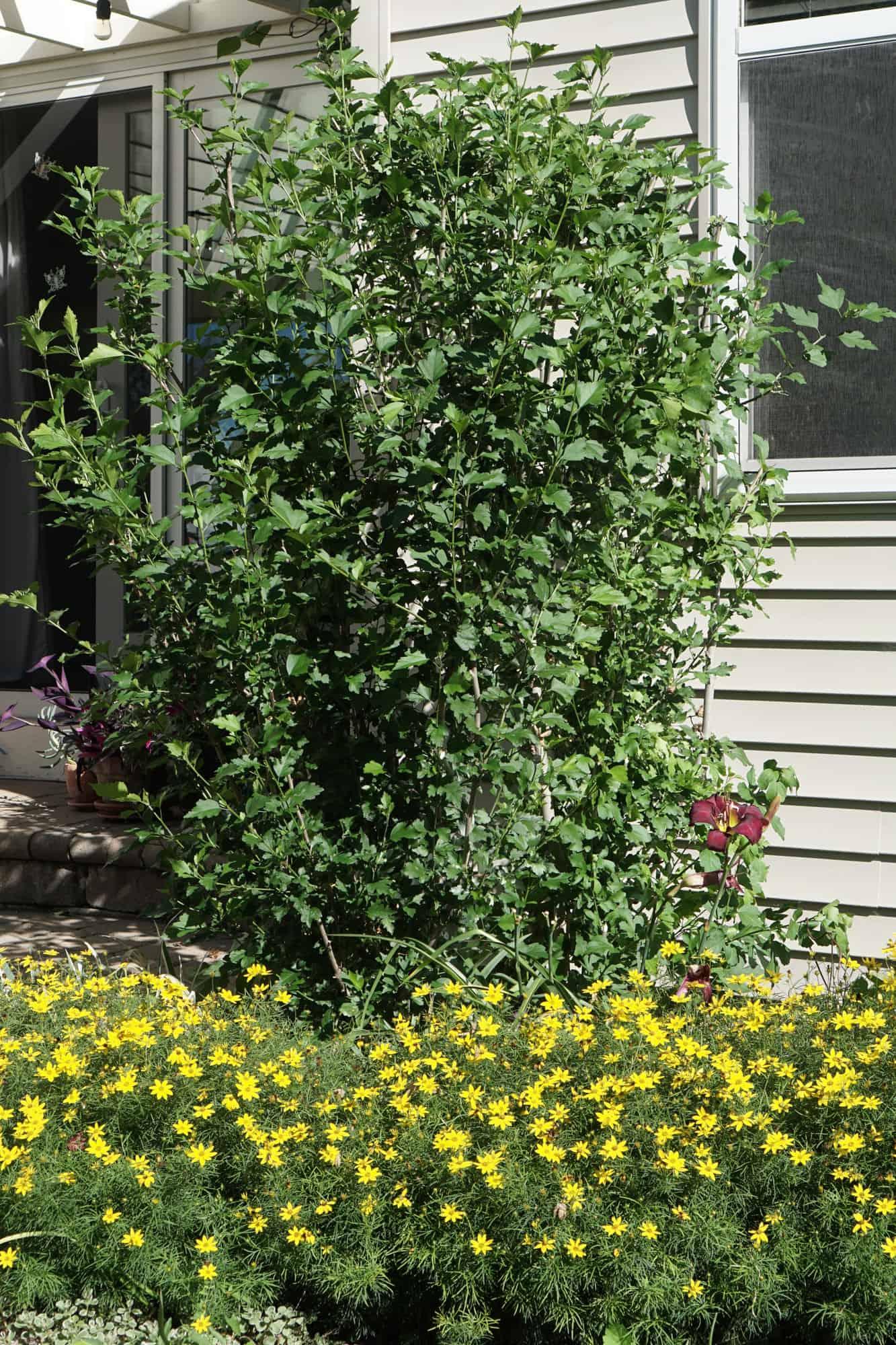 Pruned Rose of Sharon