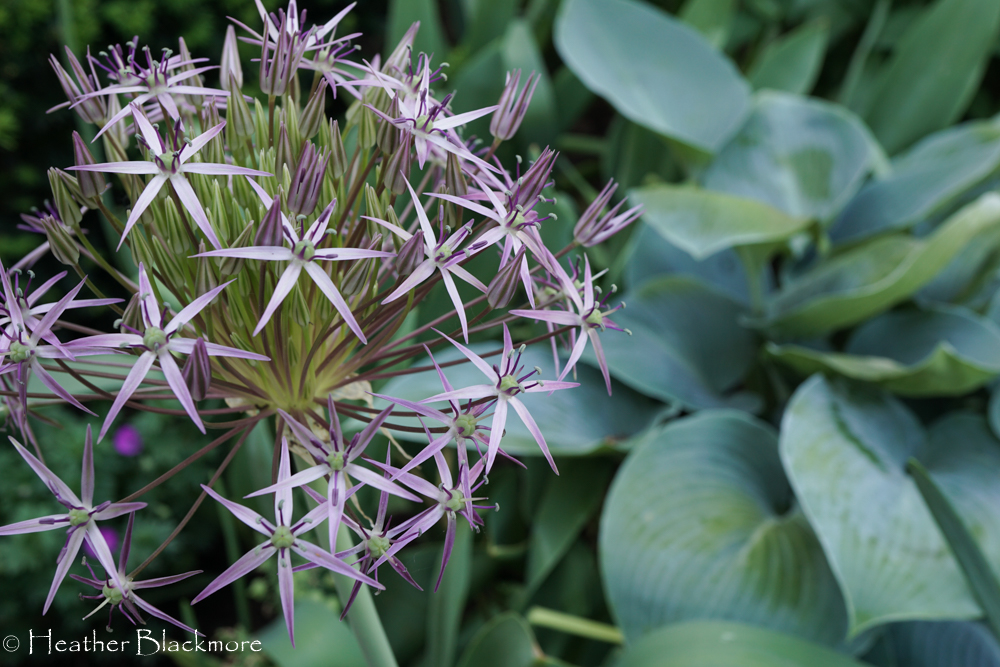 Christophii Allium