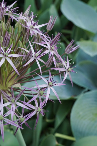 Add A Bit of Whimsy to the Garden with Alliums