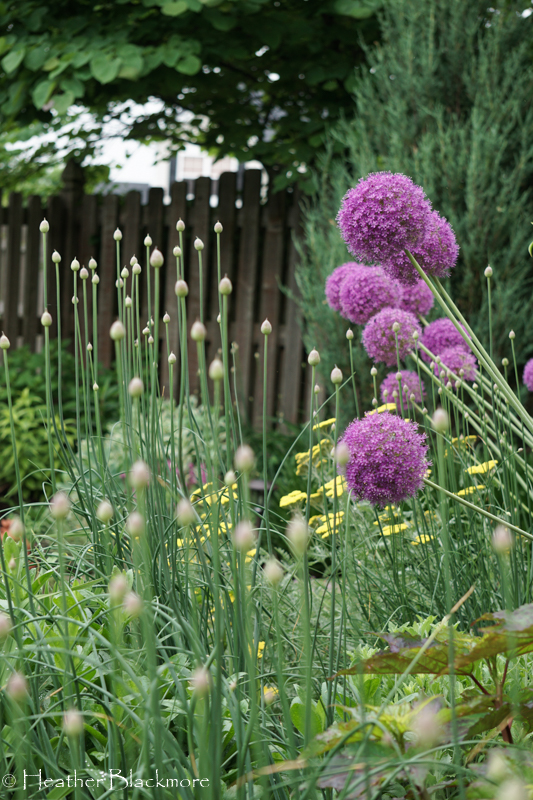 Gladiator Allium in Bloom with Drumstick buds