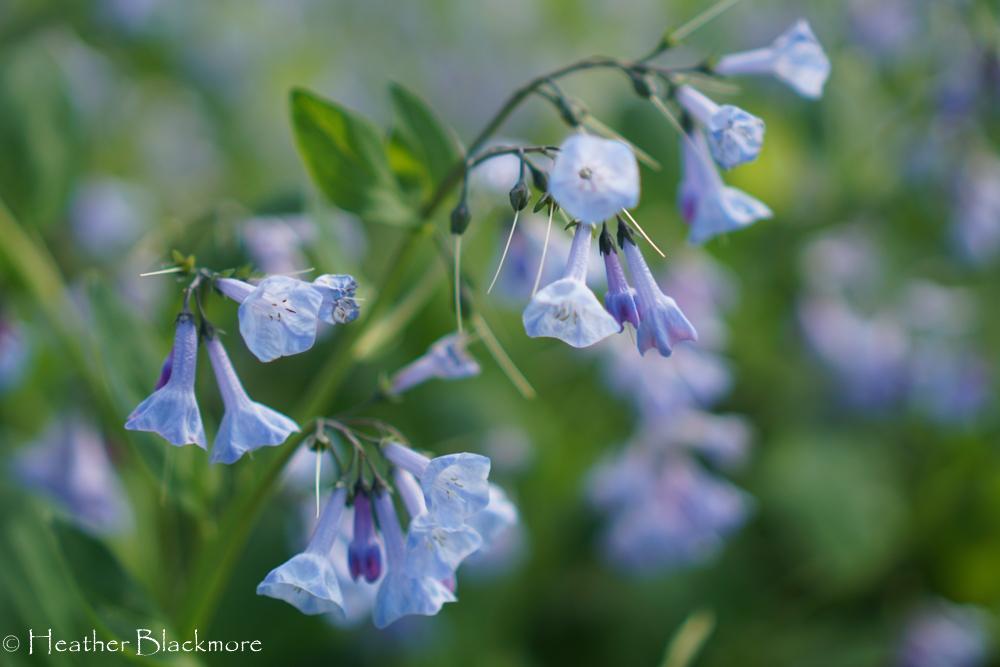 Virginia Bluebell flower closeup