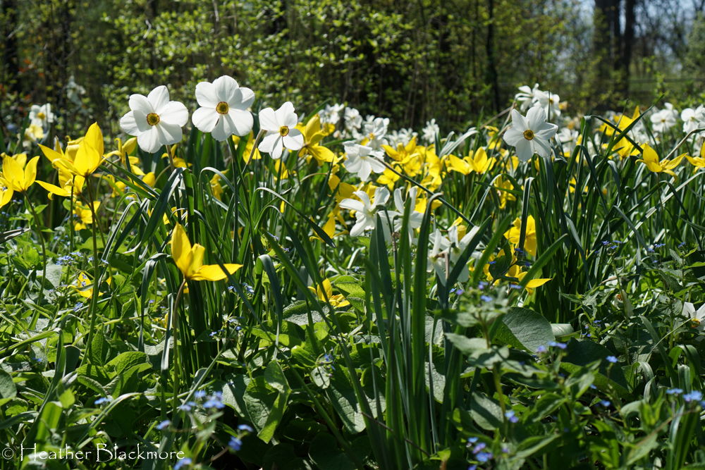 White and Yellow Daffodil spring bulbs
