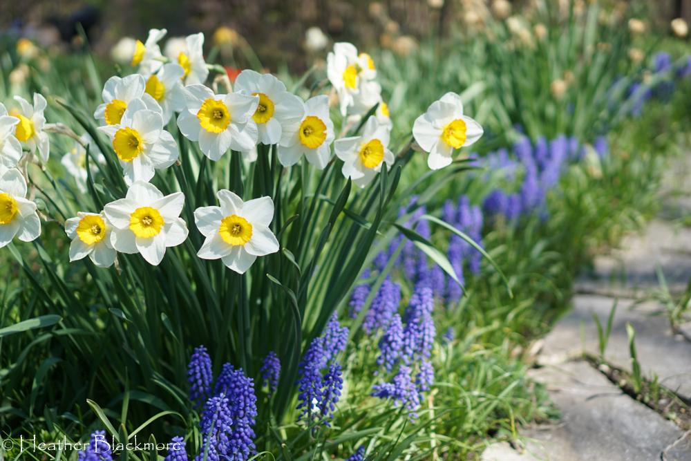 Daffodil and muscari spring bulbs in bloom