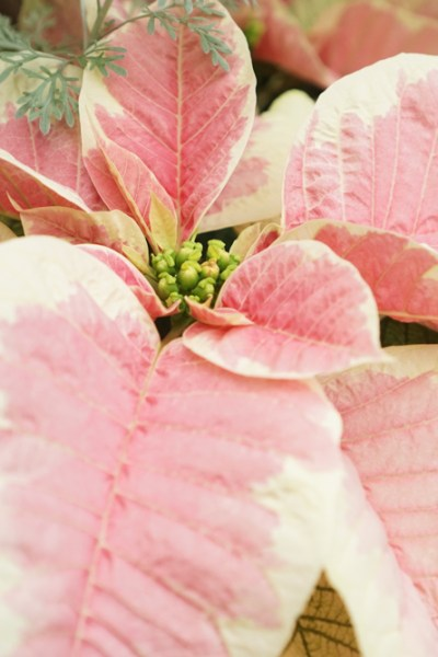 So You Got a Poinsettia. Now What?