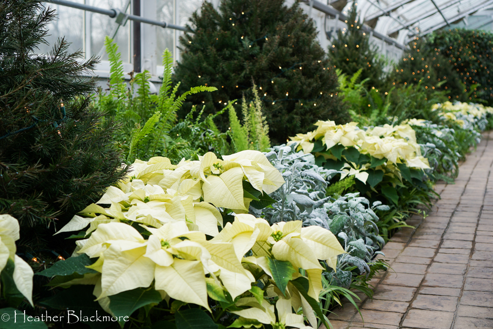Poinsettia in border