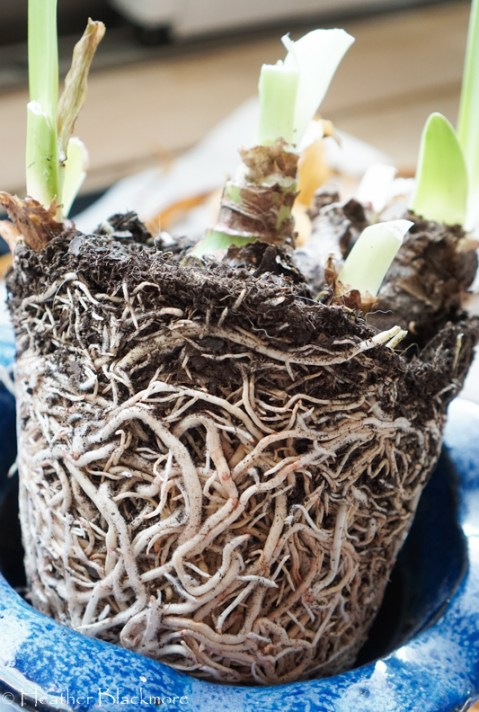 Root Bound Amaryllis