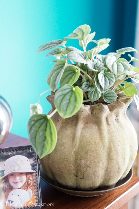 Peperomia houseplant