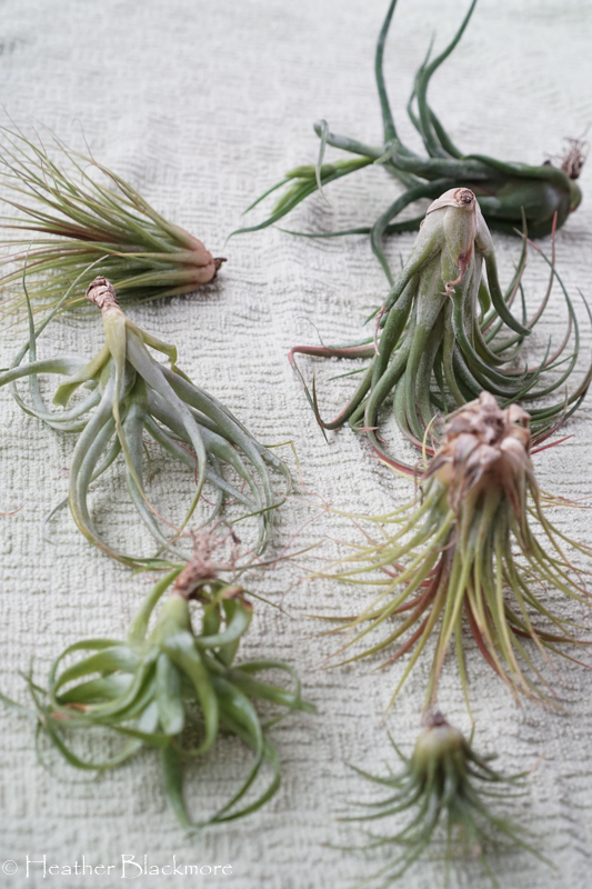 Drying Air Plants