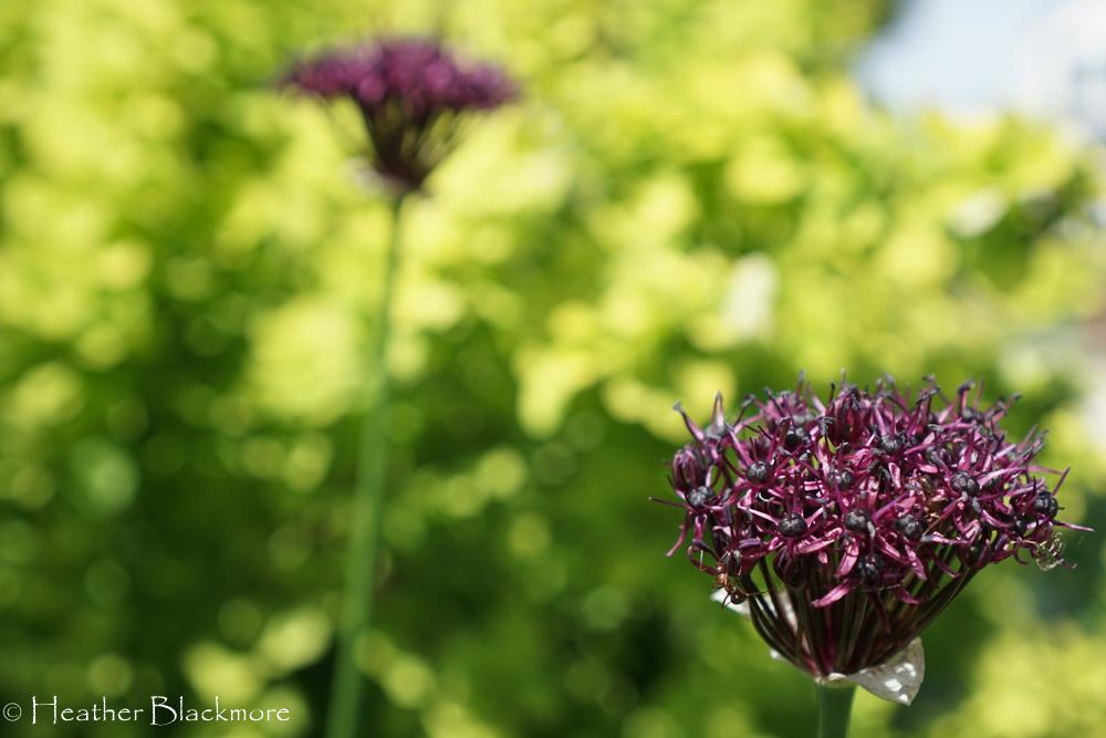 Allium atropupureum
