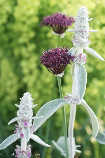 Lamb's Ear: A Spirited Child Goes Rogue
