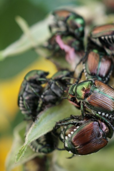 Japanese Beetles and Fond Childhood Memories