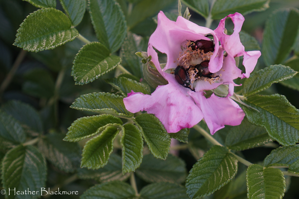 Japanese beetles in rugosa rose