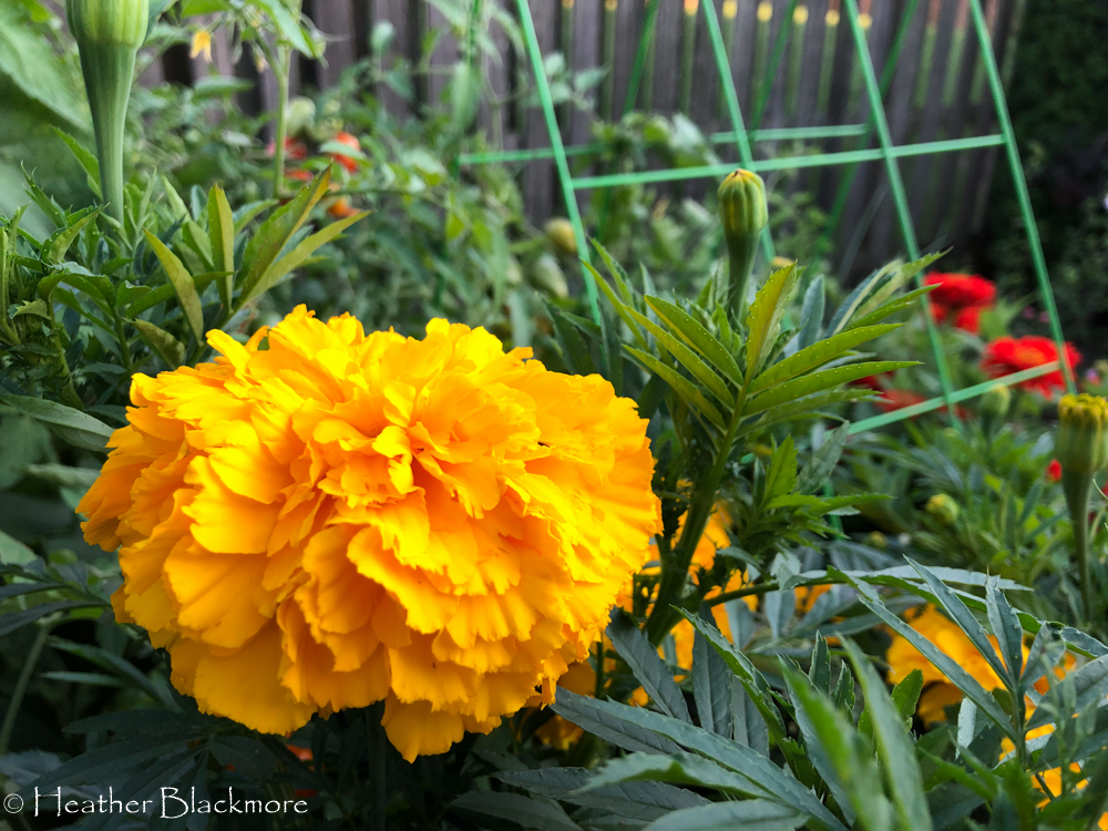 Big Duck Gold marigold