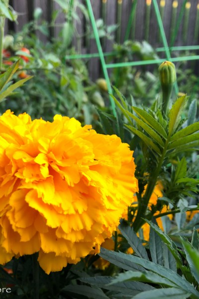 Rediscovering Marigolds –  A Newfound Appreciation