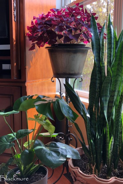 Softened Water? A Rain Barrel is a Houseplant Lifesaver in Winter