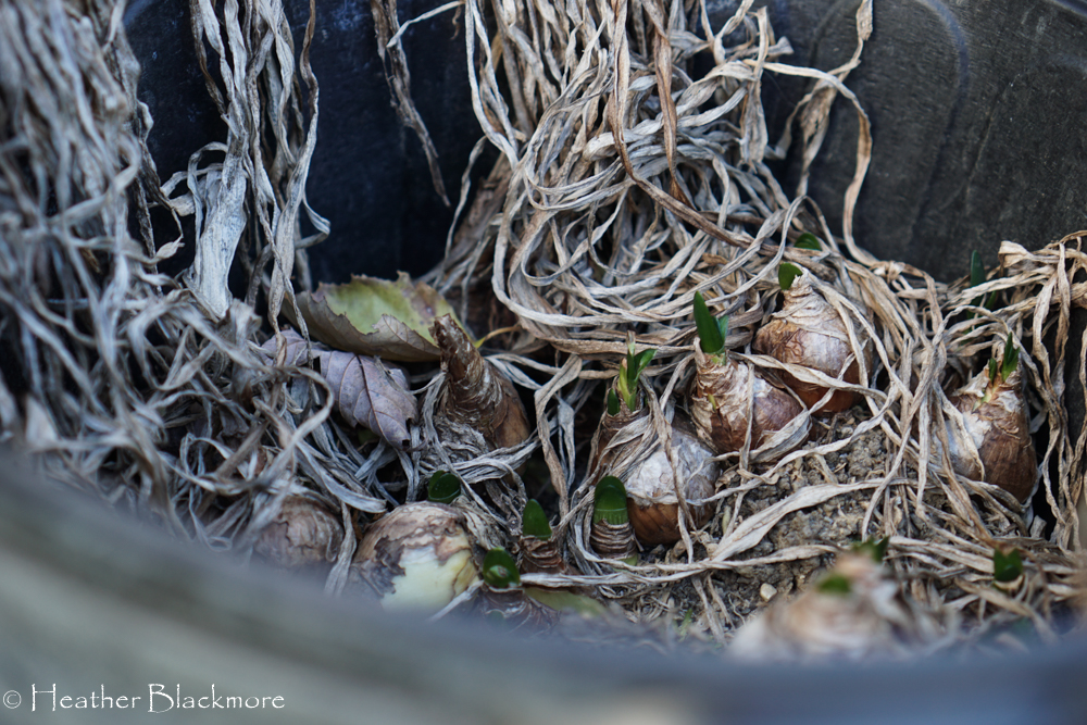 Bulbs in bucket