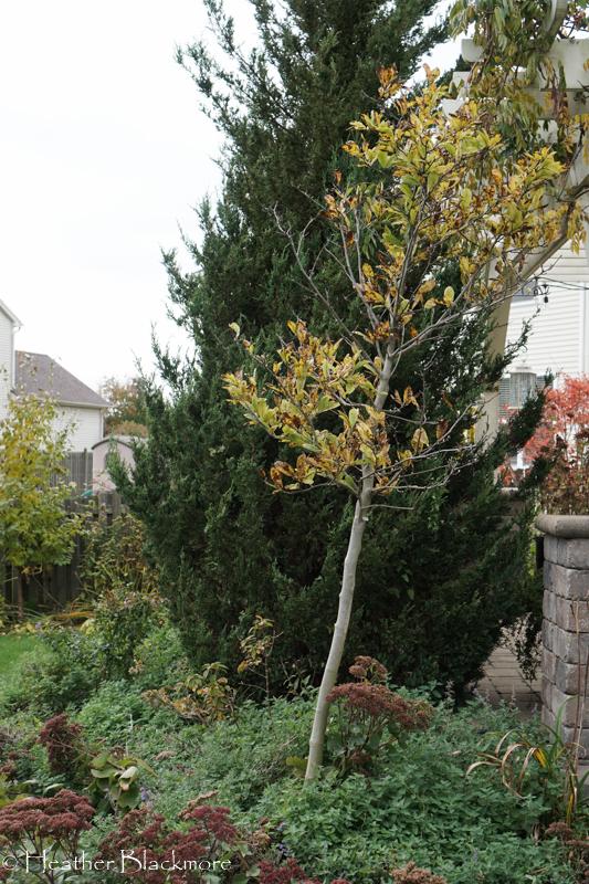 vole damage to tree