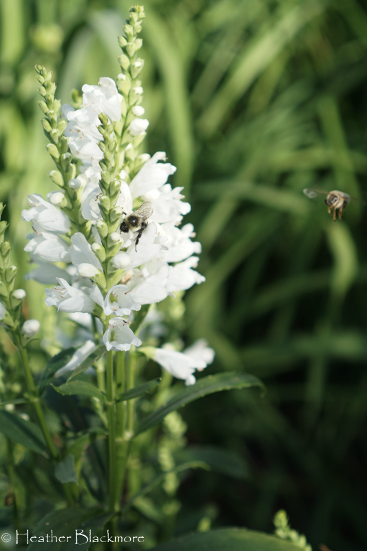 Obedient plant with bees