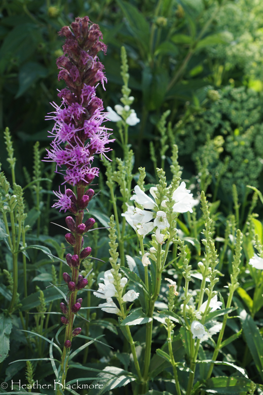 Blazing Star and Obedient Plant