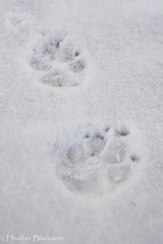 paw prints in the snow