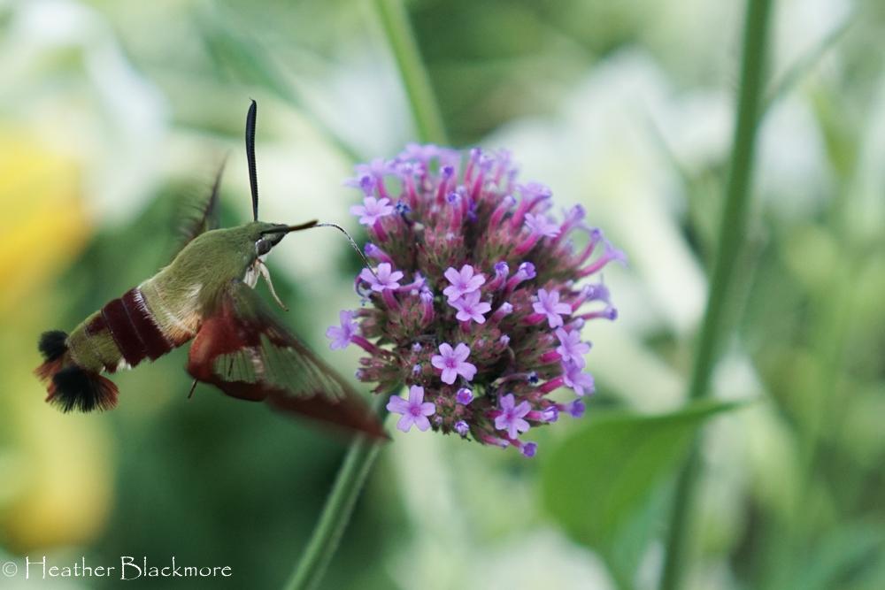 verbena bonariensis with hummingbird moth
