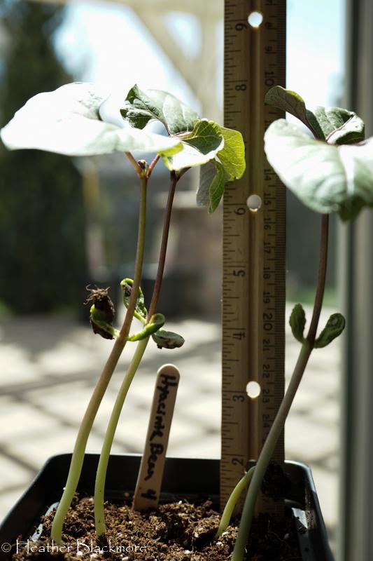 Hyacinth Bean Seedlings