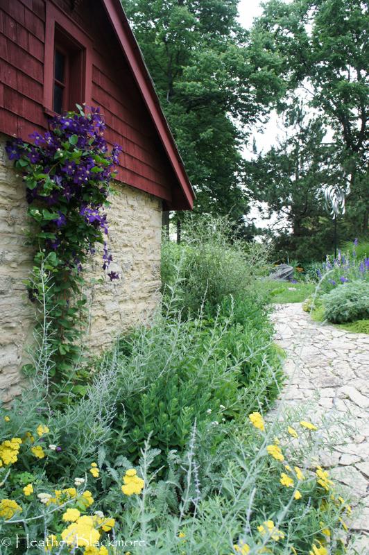 purple clematis on garage