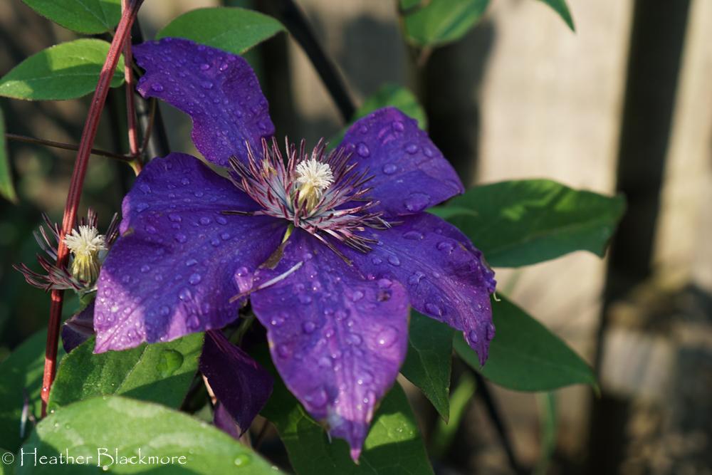 Jackmanii flower