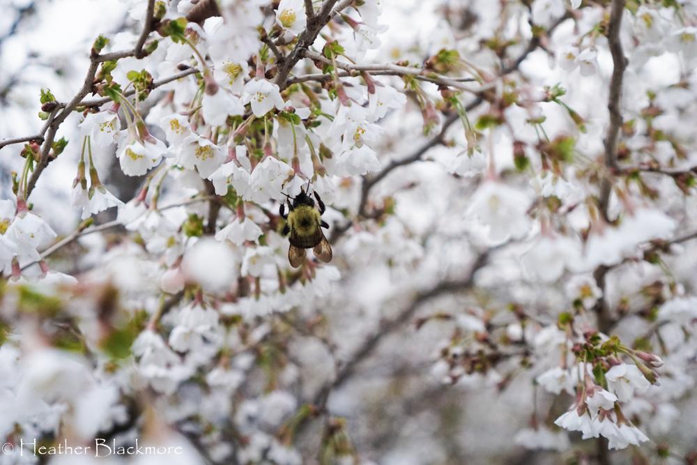 Bumblebee on Little Twist cherry tree flower