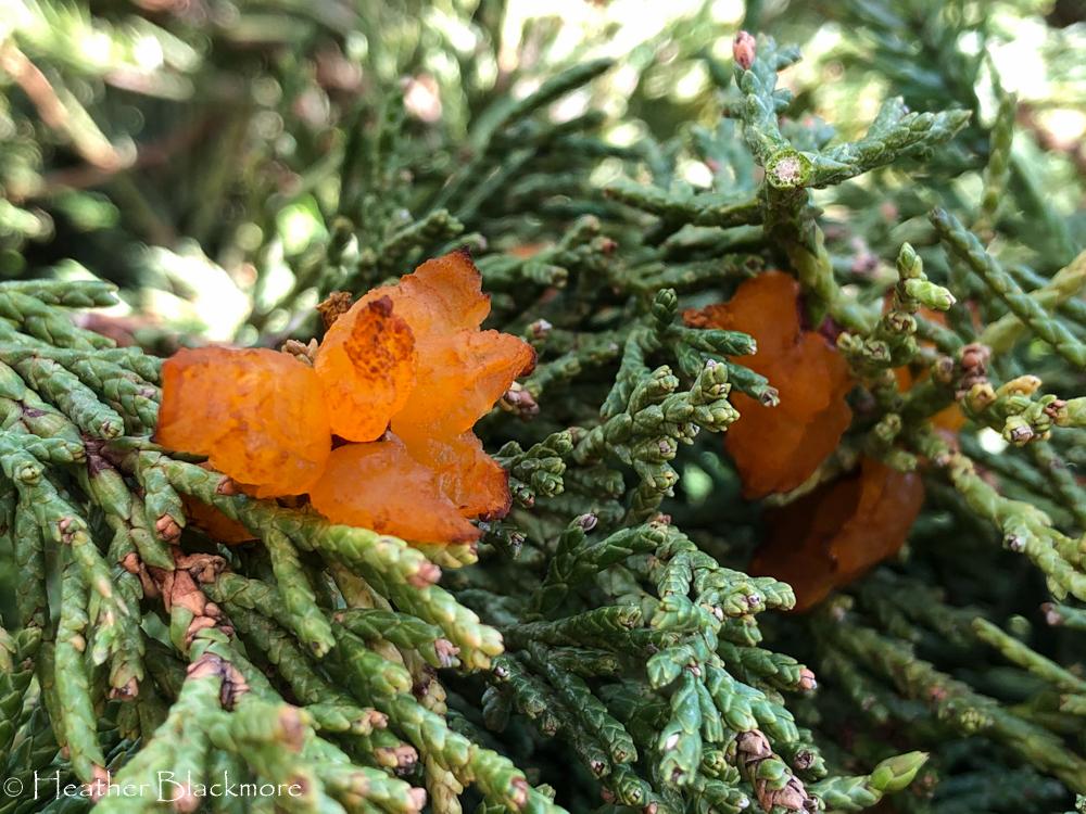 rust fungus on juniper
