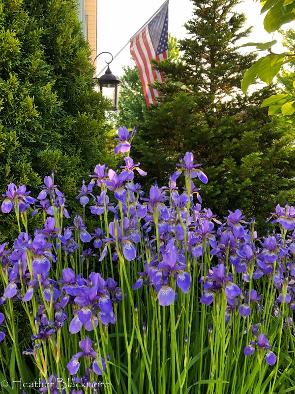 Siberian Iris and American flag