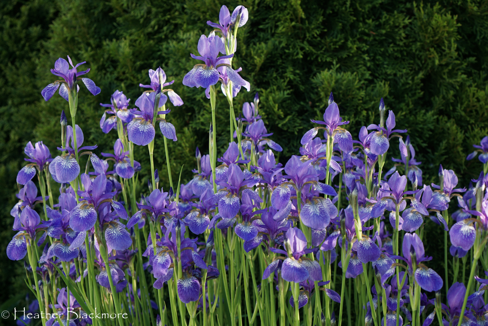 Siberian Iris 'Caesar's Brother'