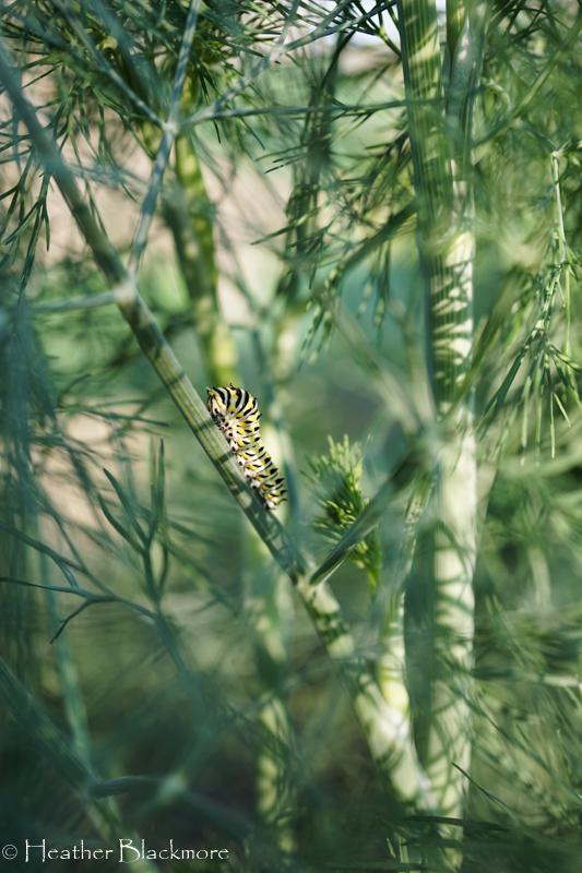 Swallowtail caterpillar on dill