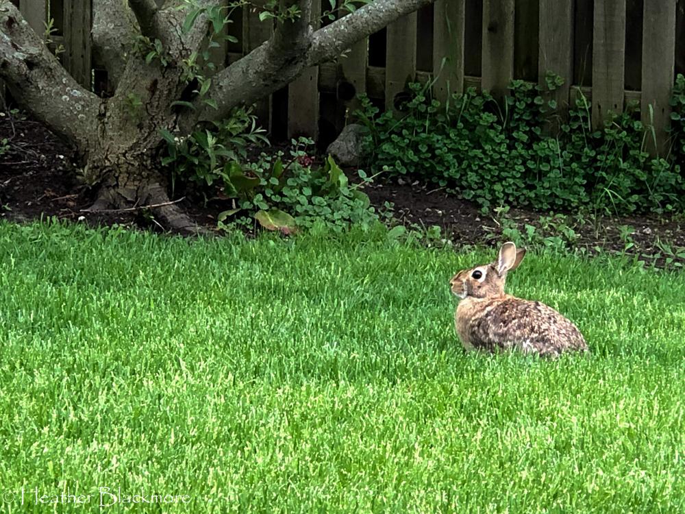 Rabbit in lawn