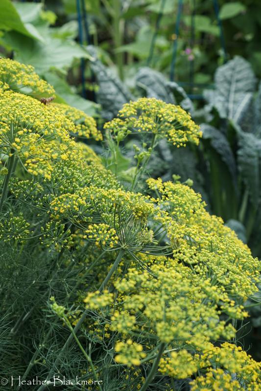 Fernleaf Dill Flowers