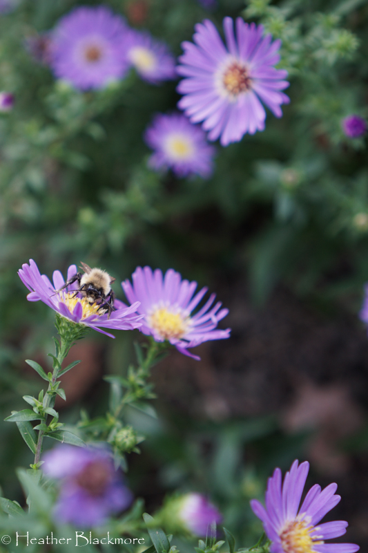 bumblebee on asters