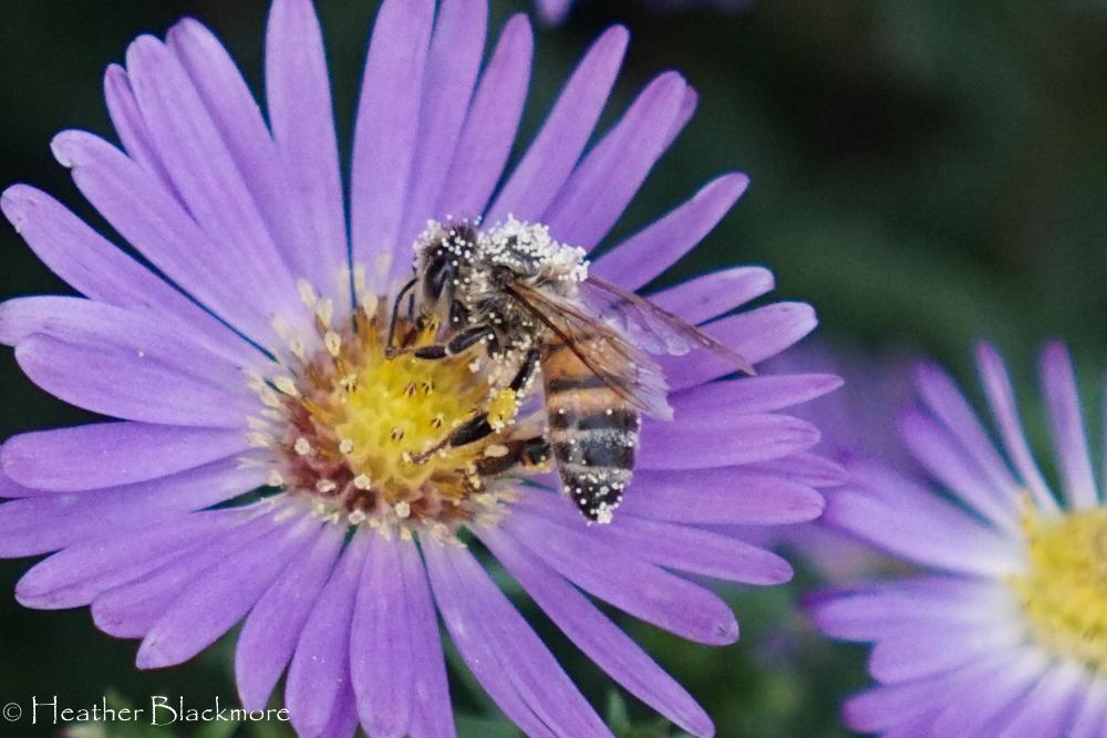 Honey bee in aster flower