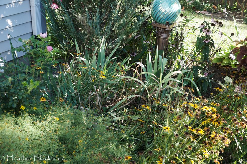 Iris bed in garden