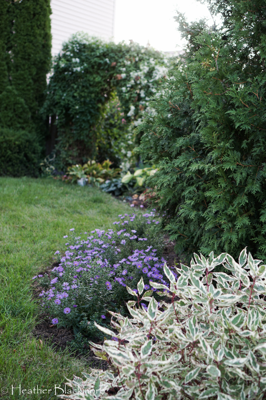 Asters, redtwig dogwood, and arborvitae