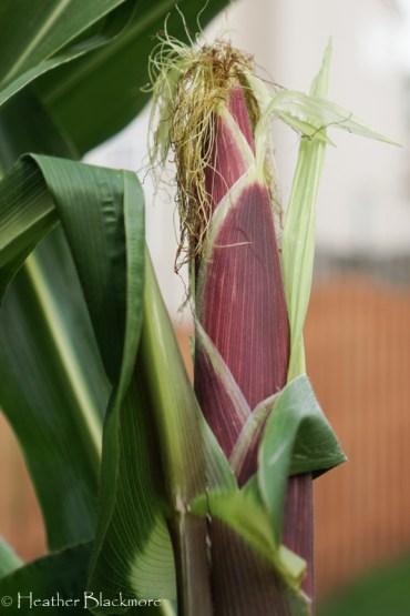 Ear of corn in husk