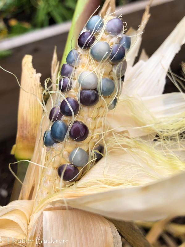 partially developed corn