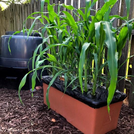 Corn growing in Earthbox