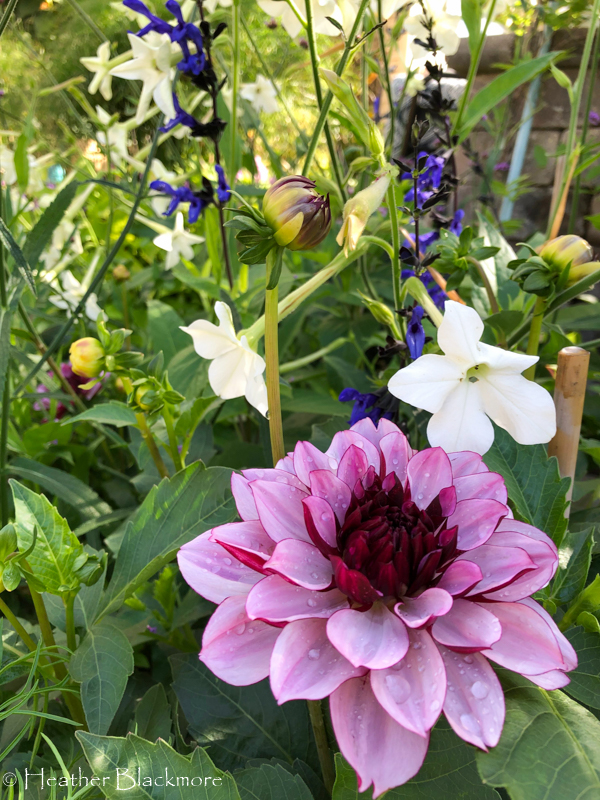 Diva dahlias with flowering tobacco and salvia