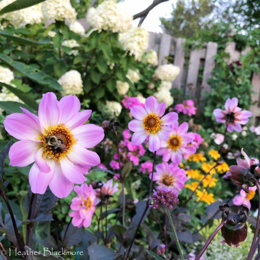 Bishop of Dover dahlias with bumblebees