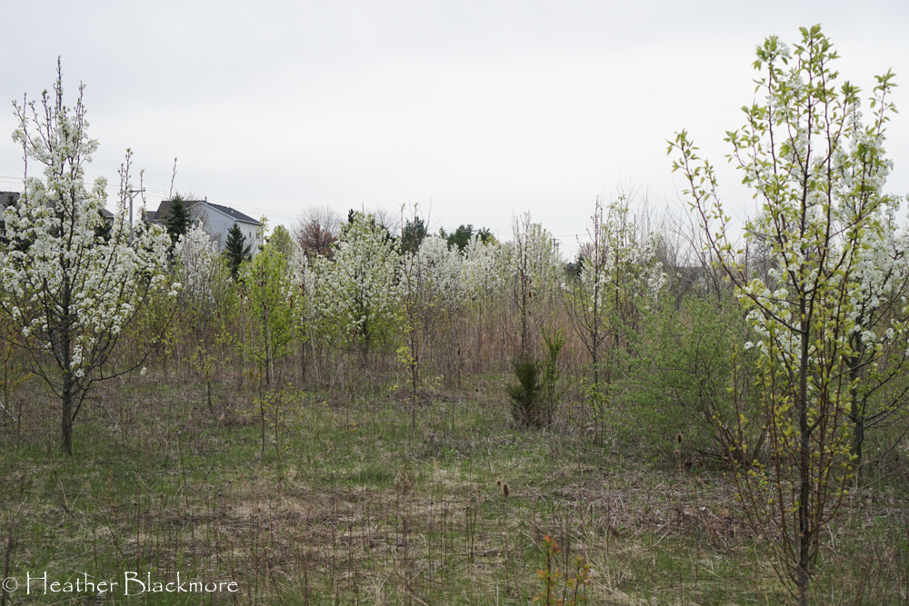 young callery pear in open field