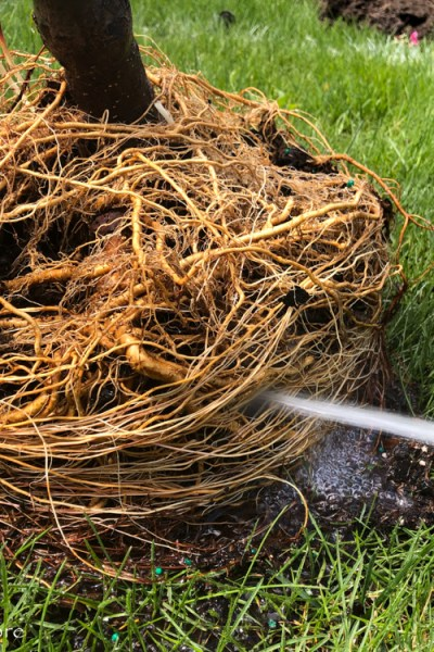 Root Bound Tree? Try Root Washing Before Planting