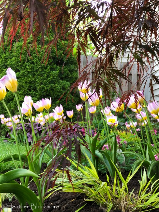 Lilac Wonder species tulips with Japanese maple